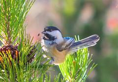 Curious (~DGH~) Tags: 2018 50mm alberta canada edmonton october pentaxkx autumn berries bird chickadee fall pinecones tree ~dgh~