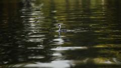 Great crested grebe (PChamaeleoMH) Tags: birds fauna wimbledonpark greatcrestedgrebe