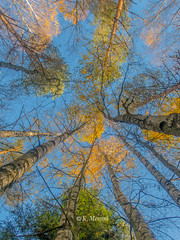 Birch trees (katrinchen59) Tags: birchtrees trees goldenleaves autumn fall bluesky nature naturephotography birkenbäume bäume blätter herbstfarben herbst autumncolors autumnleaves autumnseason berkebomen bomen herfst herfstkleuren herfstseisoen natuur natuurfotografie