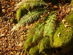 Wald-Frauenfarn (Jörg Paul Kaspari) Tags: dieliesertaltour wanderung lieserpfad herbst autumn fall eifel vulkaneifel farn fern waldfrauenfarn athyrium filixfemina athyriumfilixfemina