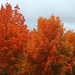 beautiful maples, cloudy day, shopping center parking lot