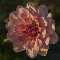 Dernière lumière d'automne (Titole) Tags: dahlia light shadow petals titole nicolefaton pink