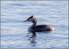Crested Grebe_87A6354 (HJSP82) Tags: 20181102tophilllow greatcrestedgrebe grebe swimming bird waterfowl elegant
