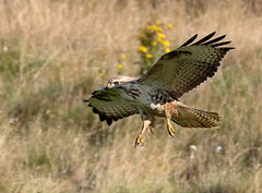 IMG_026529 (andy1959c) Tags: gigrinfarm commonbuzzard