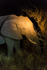 Elephant on the Night Game Drive (George Bewsher) Tags: nikon nikond610 krugernationalpark skukuza africa southafrica kruger wildlife nature wanderlust travel animals