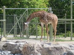 Masai Giraffe 2 (D. S. Hałas) Tags: halas hałas canada ontario yorkcounty toronto scarborough torontozoo chordata sarcopterygii mammalia artiodactyla cetartiodactyla giraffidae giraffacamelopardalis giraffacamelopardalistippelskirchii masaigiraffe giraffe