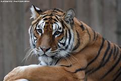 Bengal tigress - Zoo Amneville (Mandenno photography) Tags: animal animals dierenpark dierentuin dieren ngc nature france frankrijk tiger tijger tigers tijgers zoo zooamneville amneville bengal bengaalse bigcat big cat cats nina