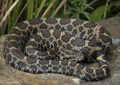 Eastern Massasauga Rattlesnake (Nick Scobel) Tags: eastern massasauga rattlesnake sistrurus catenatus michigan rattler venomous snake pitviper fangs scales pattern texture coiled camouflage secretive
