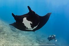 Black Manta Fenix (NickPolanszkyPhotography) Tags: nick polanszky underwater photography canon 5diii scuba diving diver photographer manta ray rays la paz reina baja california sur mexico