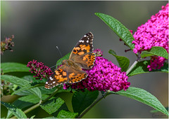 Painted Lady (Summerside90) Tags: butterflies insects paintedlady september fall autumn backyard garden nature wildlife ontario canada