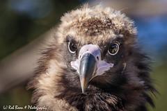 20180930-9019-Monniksgier (Rob_Boon) Tags: gaiazoo kerkrade monniksgier robboon animal bird vulture