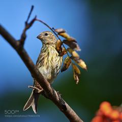 Serinus serinus (KevinBJensen) Tags: uccelli birds vogel animali volatili natura
