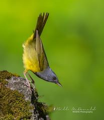 Mourning Warbler (Bill McDonald 2016) Tags: warbler songbird mourning mourningwarbler avian spring ontario billmcdonald wwwtekfxca perched perching jump canada