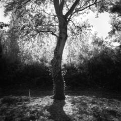 essence of a tree (timpuget) Tags: parc pan f ilford film france mamiya c330 perceptol 13 epson v550
