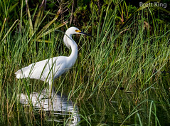 Snowy in Florida (dbking2162) Tags: fortmyersbeach florida egrets explore nature nationalgeographic wildlife water wading snowyegret snowy green white birds bird beautiful