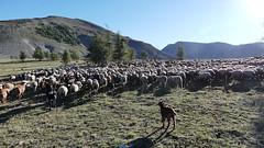 Démarrage (François Magne) Tags: berger bergère pastoraloup brebis alpage estive transhumance loup couchade paysage alpes provence chien protection fz 300 lumix troupeau montagne