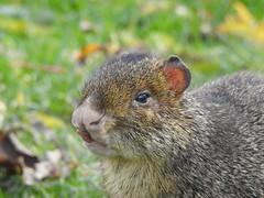 Agouti (Simply Sharon !) Tags: agouti rodent animal yorkshirewildlifepark