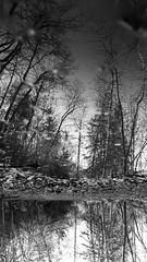 (Melissa Buteau) Tags: blackandwhite white black grey trees mirror puddle outside nature canada canon rebelt4i balance asymmetric illusion imaginative perspective flipped