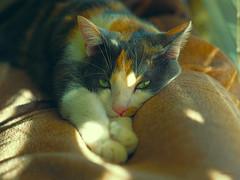 Pretty Please... (VGPhotoz) Tags: vgphotoz kitty prettyplease animal usa precious funpics greeneyes pussycat furryfriend pisica chat katze gatto macka gato love ure