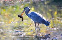 Fishing at Fishtrap (Neal D) Tags: bc abbotsford fishtrapcreekpark bird heron greatblueheron ardeaherodias fish