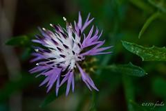 Serie macro naturaleza: flor espinosa (EFD-fotolab) Tags: macrodeflores nature naturaleza macro nikkor105mm nikond610 floreslilas flores floresdeespaña flowers