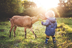 A little toddler boy feeding a goat outdoors on a meadow at sunset. (seo.zarathemes) Tags: little small male boy toddler person child offspring kid outdoors outside nature garden meadow grass sunset evening summer anorak boots wellington rubber goat animal domestic eat food graze walking rear view back countryside village caucasian pasture agriculture farm feed field rural blond hair coat feeding brown chain sunbeams licking face