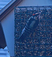 Birds of Gatineau- Downy Woodpecker (Pwern2) Tags: birds birdsofgatineau gatineau birdwatching birdofquebec oiseaux observationdesoiseaux fall automne ornithology ornithologie tetrapods aves urbanbirds dryobatespubescens downywoodpecker woodpecker birdseed birdhouse bird feeder birdfeeder
