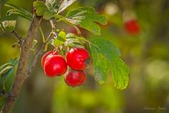 i colori di ottobre...  the colors of October (adrianaaprati) Tags: berries october autumn colors red green yellow light park macro bokeh leaves