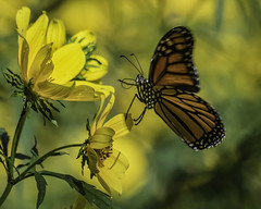 MonarchButterfly_SAF6680 (sara97) Tags: danausplexippus butterfly copyright©2018saraannefinke endangered missouri monarch monarchbutterfly nature photobysaraannefinke pollinator saintlouis towergrovepark flight inflight