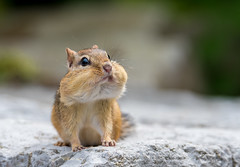 Chubby Cheeks (Jamie Lenh Photography) Tags: nature wildlife chipmunk nikond500 tamron150600 jamielenh