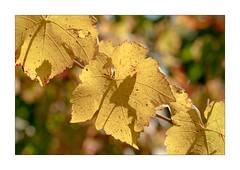 Vigne (Jean G68) Tags: olympus4015028 panasonicgx8 vignoble oltlingen