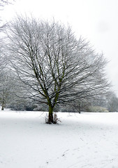 Ash in snow (cats_in_blue) Tags: tree snow winter ash ask europeanash fraxinusexcelsior asketræ