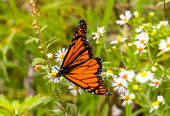 7K8A7632 (rpealit) Tags: scenery wildlife nature weldon brook management area monarch butterfly