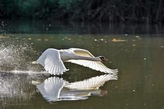 Flying Swan (Joe Milham) Tags: lnr warnham swan nikon d7200 milham joe horsham sussex west