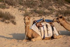 10003378.jpg (KevinAirs) Tags: camels kevinairs ocean camel travel westernaustralia ©kevinairswwwkaozcomau sand sky landscape landscapes beach australia sea