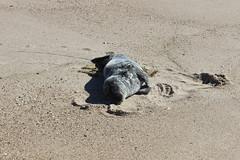 IMG_2118 (watchfuleyephoto) Tags: montauk beach ocean sand seal shells landscape vista view atlanticocean waves seagulls
