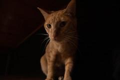 model 2 (Hoshiara) Tags: cat chat ginger eyes look regard contraste animal