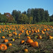 Pumpkin Patch at Aldor Acres Family Farm in Langley
