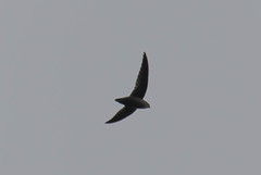 7K8A8148 (rpealit) Tags: scenery wildlife nature state line lookout chimney swift bird