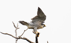 7K8A8261 (rpealit) Tags: scenery wildlife nature state line lookout peregrine falcon bird