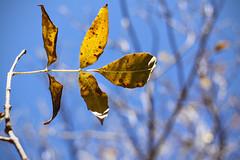 Lingering (matthileo) Tags: 500px fall autumn leaf leaves tree light plants flickr facebook katzmatt tumblr