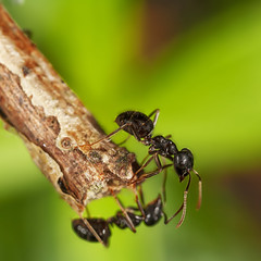 Ants (JLM62380) Tags: ant fourmi insecte insect bois wood bug hymenoptera formicidae