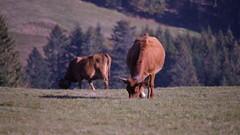 Les vaches du Schupferen (Patabois) Tags: vache animalier ferme hautesvosges montagne