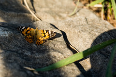 Butterfly (tokyobogue) Tags: japan kawaguchi arakawa river riverbank nikon nikond7100 d7100 sigma sigma1750mmexdcoshsm shadows sunbeams sunset butterfly