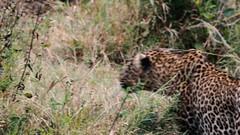 Leopard Eating Baboon (sgorstein) Tags: nature wildlife naturepictures animal animals wildanimals africa safari kenya getolympus leopard baboon masaimara mara