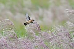 ススキとノビタキ (myu-myu) Tags: nature autumn bird wildbird saxicolatorquata siberianstonechat miscanthussinensis autumnfield nikon d500 野鳥 ノビタキ ススキ japan