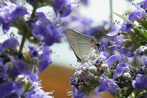 Rowlett - Grey Hairstreak