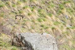 Lupo (Canis lupus) - Wolf (LucaTib) Tags: wolf lupo mammifero mammiferi lupus canislupus
