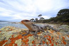 Tasmanian Blotched Blue-tongue (Rob Valentic - Gondwana Reptile Productions) Tags: canoneos5dmarkiv tasmaniareptiles bayoffirestasmania blotchedbluetongueskink tiliquanigrolutea coastal beachlizards australianlizards wideanglemacro wideanglelizard herpinhabitat fisheyelizard venuslaowa15411macroef reptiles robvalentic