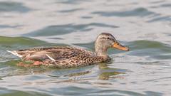 Mallard (Glenn.B) Tags: farmoorreservoir oxfordshire water waterfowl wildfowl bird avian mallard femalemallard duck